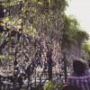 亀戸天神の藤まつりに行って、亀を見てきた話