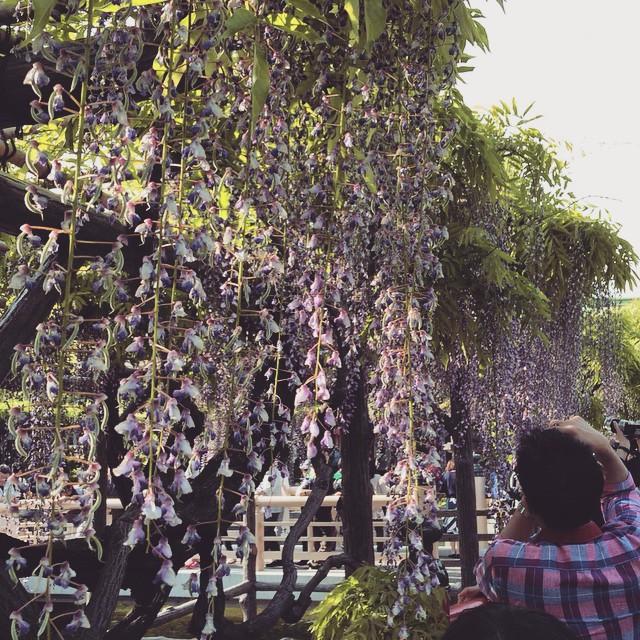 亀戸天神の藤まつり